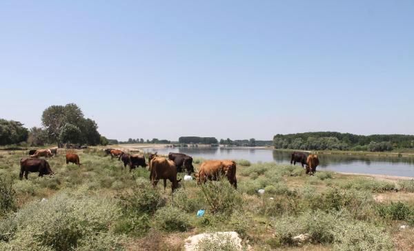 Kavuran Sıcaklar İnekleri de Vurdu! Süt Verimi Düştü, Ahırlara Vantilatör Yerleştirildi