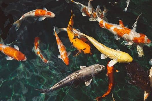 Rüyada Balık Görmek Nasıl Yorumlanır? Rüyada Balık Görmenin Tabiri…